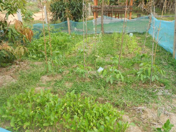 My garden of bok choy, dtua fuk yao, tomatoes, pak boon, cilantro... more coming!