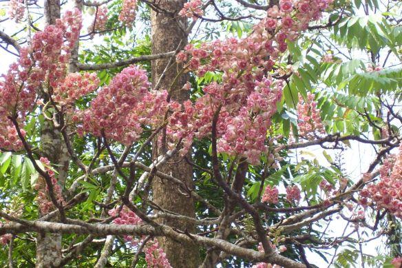 Chompoo Puka Flower